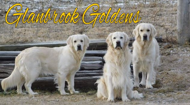Glanbrook Goldens